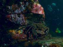 Crabe de natation de accouplement de velours photos libres de droits