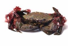 Crabe de natation de velours Image stock