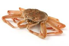 Crabe de neige (femelle) images stock