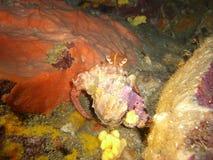 Crabe de Pagurus Photos libres de droits