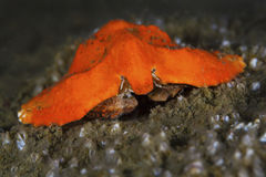 Crabe de papillon Images stock