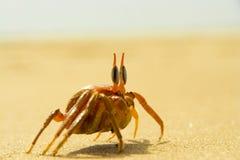 Crabe de plage Photos libres de droits