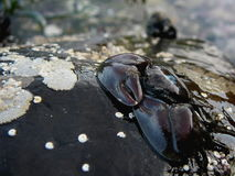 Crabe de porcelaine Photo stock
