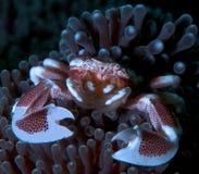 Crabe de porcelaine Photo libre de droits