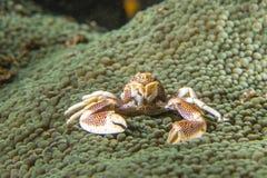 Crabe de porcelaine image libre de droits