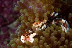 Crabe de porcelaine, Philippines Photo libre de droits