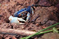Crabe de Rican de côte Image libre de droits