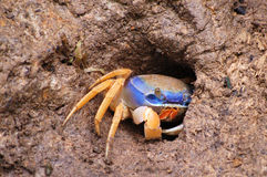 Crabe de Rican de côte Images libres de droits