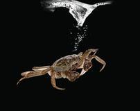 Crabe de rivière dans l'eau Images stock