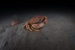 Crabe de roche Photographie stock