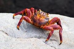 Crabe de roche rouge image libre de droits