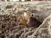 Crabe de sable Image libre de droits