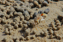 Crabe de sable Photographie stock