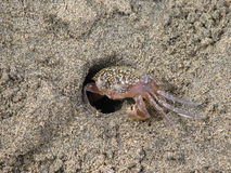 Crabe de sable Images libres de droits