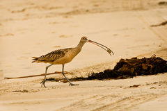 Crabe de sable dans le bec du long courlis cendré affiché Photos libres de droits
