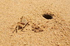Crabe de sable (Ocypode) et sien terrier Image libre de droits