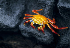 Crabe de Sally Lightfoot - île de Galapagos Images stock