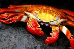 Crabe de Sally Lightfoot Photos libres de droits