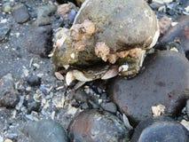 Crabe de Seattle Image libre de droits