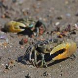 Crabe de violoneur Image libre de droits