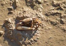 Crabe de violoneur Images libres de droits