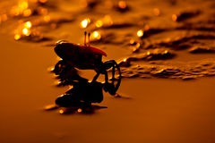 Crabe de violoneur sur la zone humide photographie stock