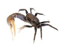 Crabe de violoneur sur le blanc 2 Photos stock