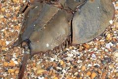 Crabe en fer à cheval images stock