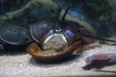 Crabe en fer à cheval Photographie stock