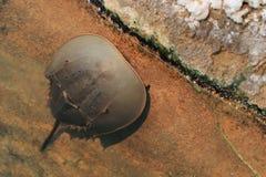 Crabe en fer à cheval atlantique Photo stock