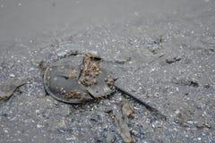 Crabe en fer à cheval, boue sur le plancher images stock