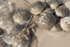 Crabe en fer à cheval (polyphemus de Limulus) photographie stock libre de droits