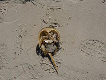 Crabe en fer à cheval Shell Photos stock