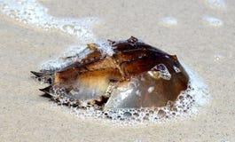 Crabe en fer à cheval sur la plage - New Jersey Images stock