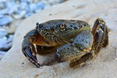 Crabe en pierre de la Mer Noire sur la plage Photos stock