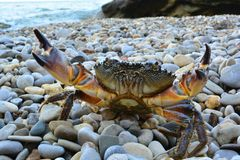 Crabe en pierre de la Mer Noire sur la plage photos libres de droits