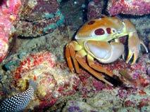 Crabe en pierre Selfie Image libre de droits
