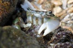 Crabe enragé vert - oregonensis de Hemigrapsus Photo libre de droits