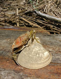 Crabe et Clam Shell images stock