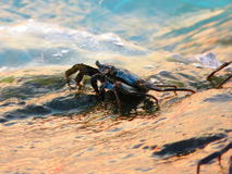 Crabe et sa roche Image stock