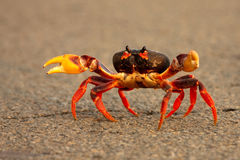 Crabe fonctionnant à travers la route Photo stock
