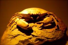 Crabe fossilisé Image libre de droits