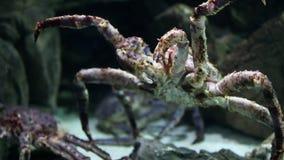 Crabe géant banque de vidéos