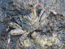 Crabe géant Photographie stock libre de droits