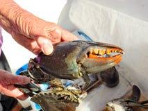 Crabe géant de boue Serrata de Scylla image libre de droits