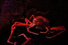 Crabe géant de l'Alaska photos libres de droits