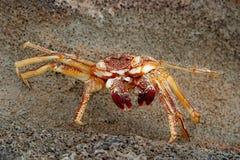 Crabe hawaïen photo libre de droits