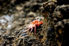 Crabe hawaïen de mer Image libre de droits