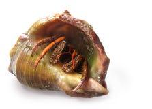 Crabe-hermite Images libres de droits