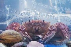 Crabe japonais Images libres de droits